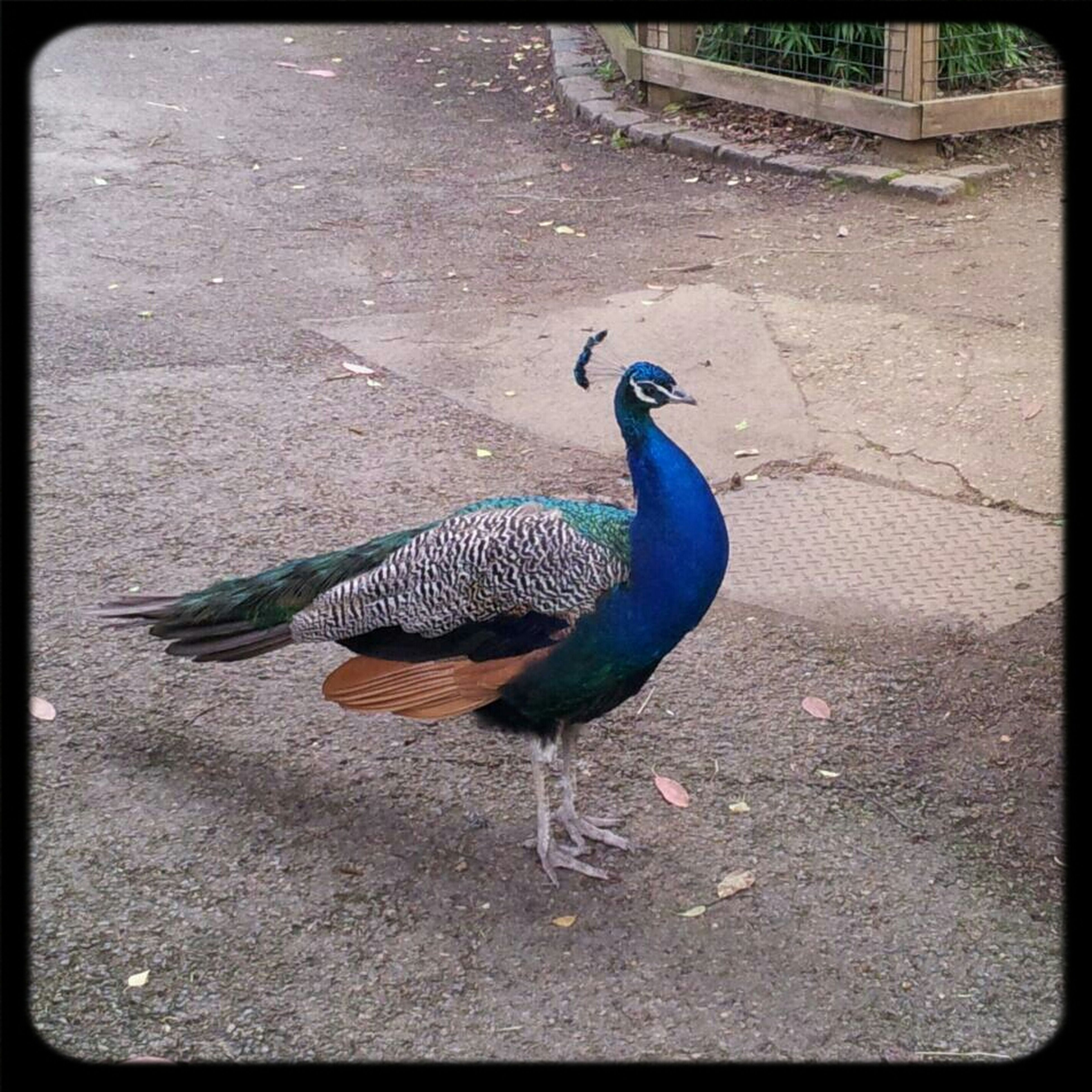 animal themes, animals in the wild, bird, wildlife, one animal, full length, side view, peacock, nature, high angle view, outdoors, no people, sunlight, zoology, auto post production filter, day, transfer print, blue, feather, beauty in nature