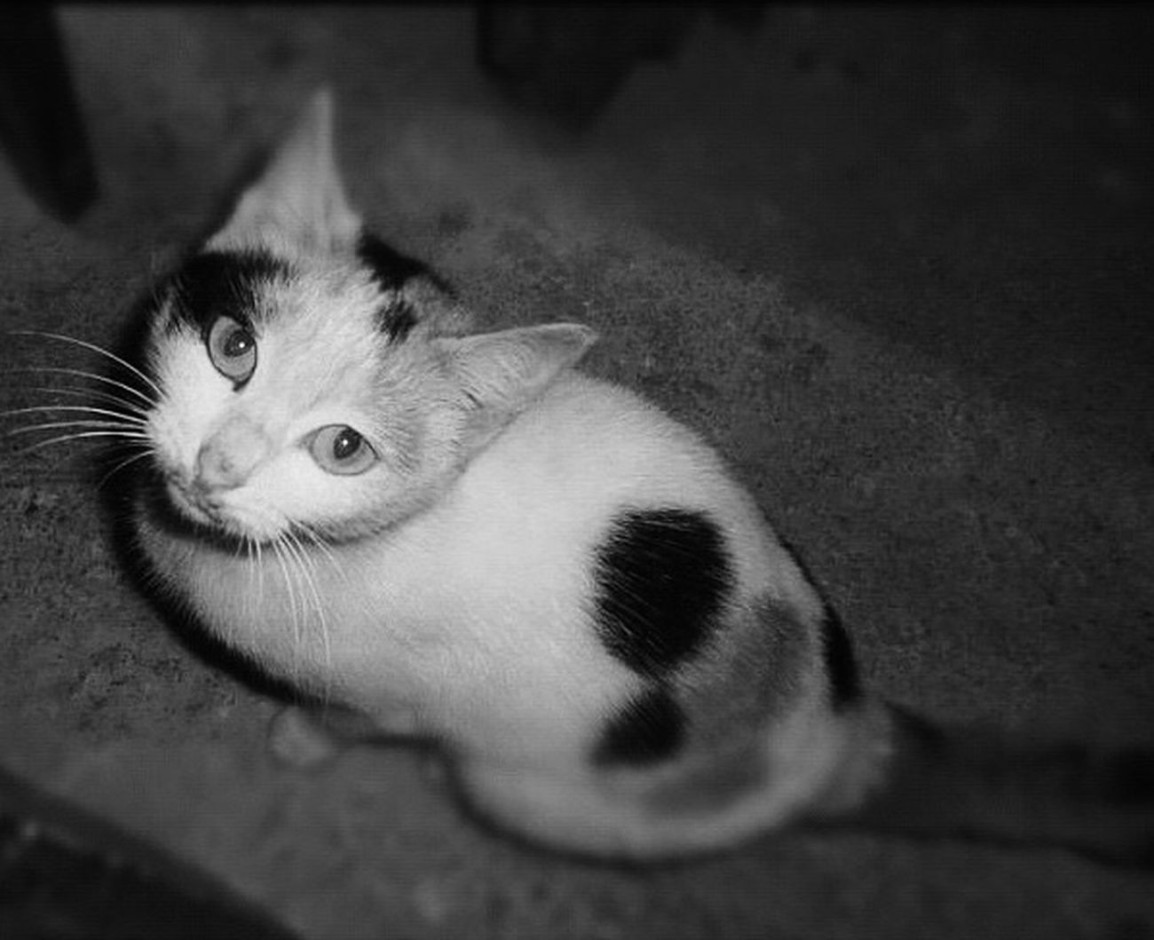 Shades Of Grey Cat Mine Chat Animals Animal