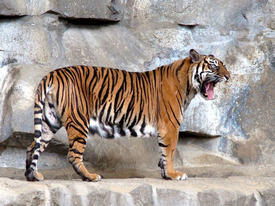 Beautiful stock photos of tiger, Animal Behavior, Captivity, Day, Full Length