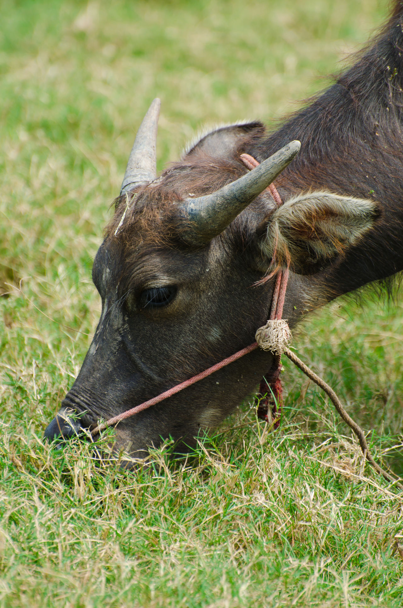 Close up photo of Thai Buffalo, chewing grass in the meadow. Animal Themes Bovine Buffalo Cattle Creature Day Domestic Animals Eating Fauna Field Grass Graze Head Shot  Horn Mammal Nature No People One Animal Outdoors Rope Thailand