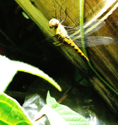 Butter fly 🐛 Insects 🐌 Macro Insects Insects Macro MobilePhotograpy Taking Photos Dagon dragon fly Dragon Fly Insects Collection Insect_perfection Check This Out