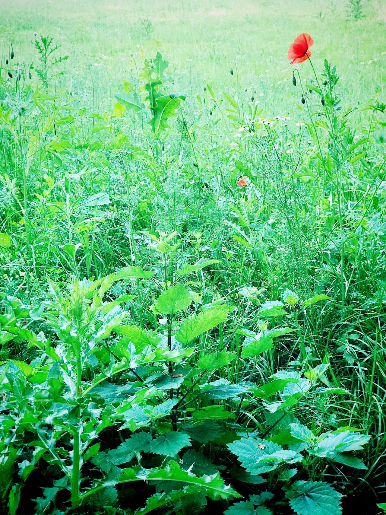 Growth Grass Field Plant Green Color Nature Flower Mohnblume Summer