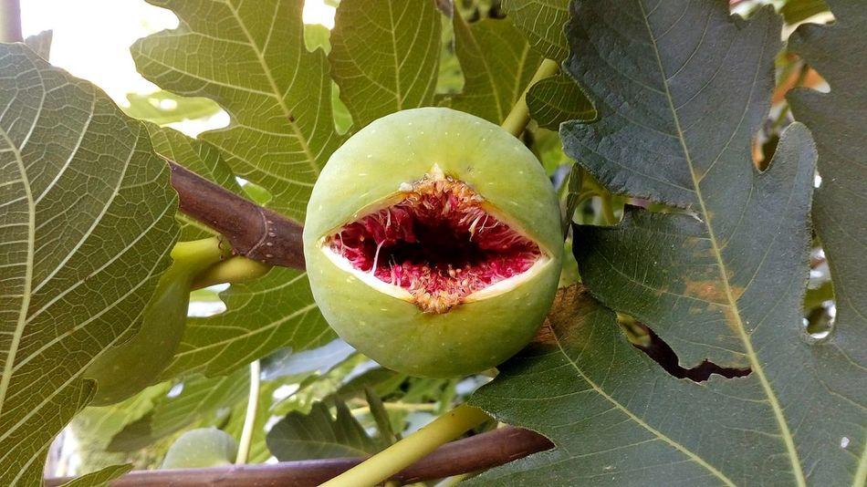 Monster Fig Monsters Fig Nature Fruit Monster