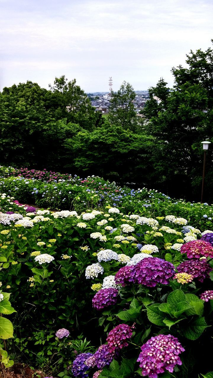 flower, freshness, growth, beauty in nature, fragility, tree, nature, plant, blooming, in bloom, tranquil scene, blossom, green color, purple, abundance, tranquility, sky, field, park - man made space, scenics