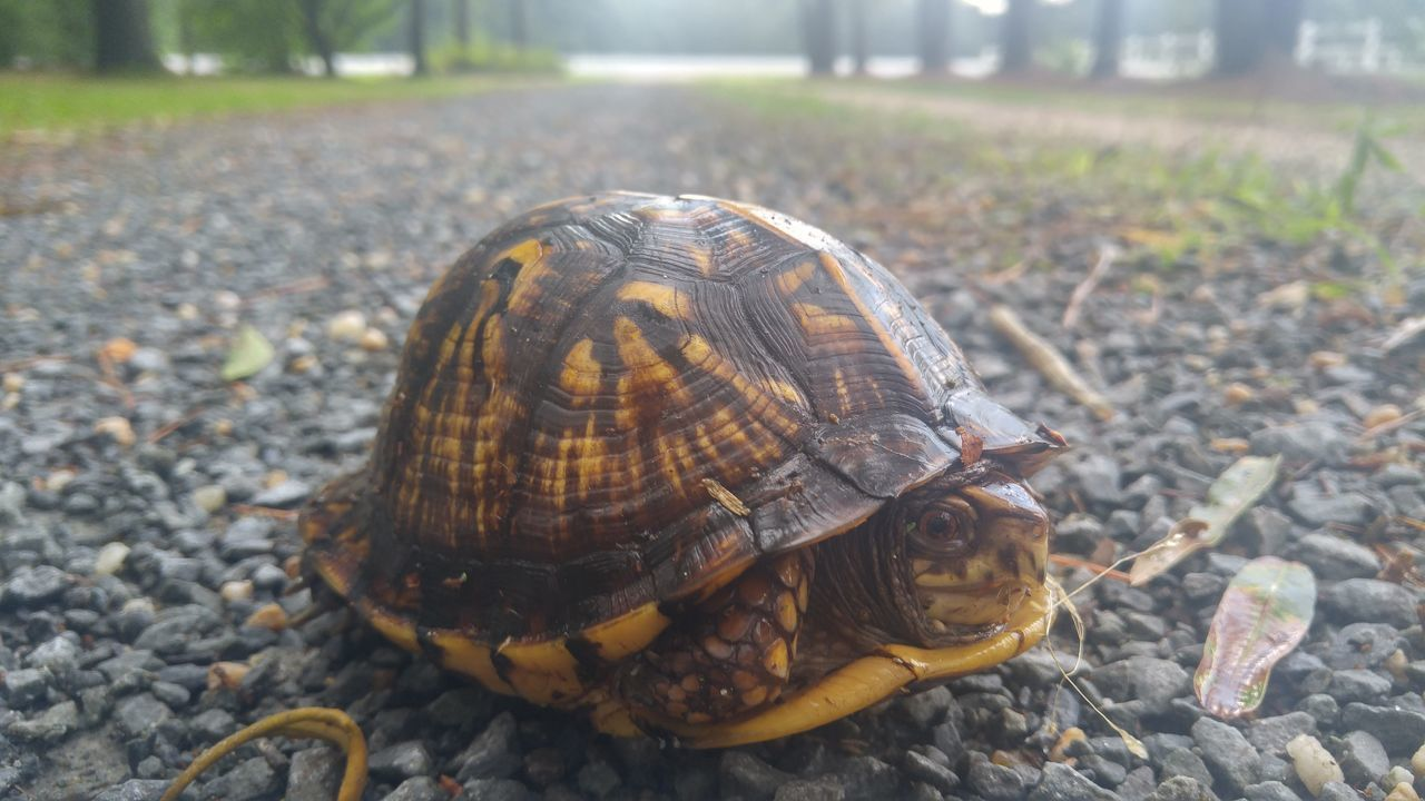 animals in the wild, animal themes, animal shell, one animal, tortoise, day, animal wildlife, wildlife, tortoise shell, reptile, outdoors, focus on foreground, nature, no people, close-up
