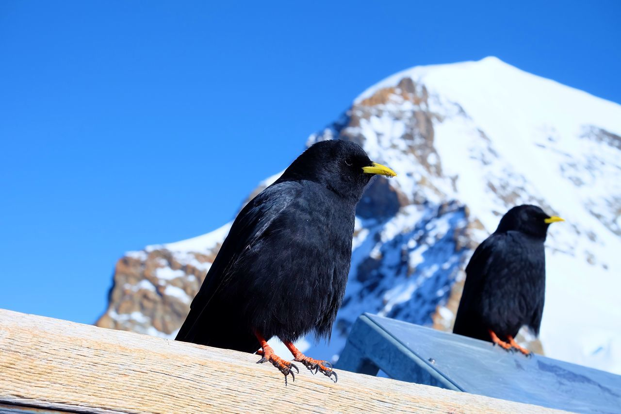 Bird Birds Birds Of Jungfrau Clear Sky Jungfrau Nature Sky Snow Top Of Europe