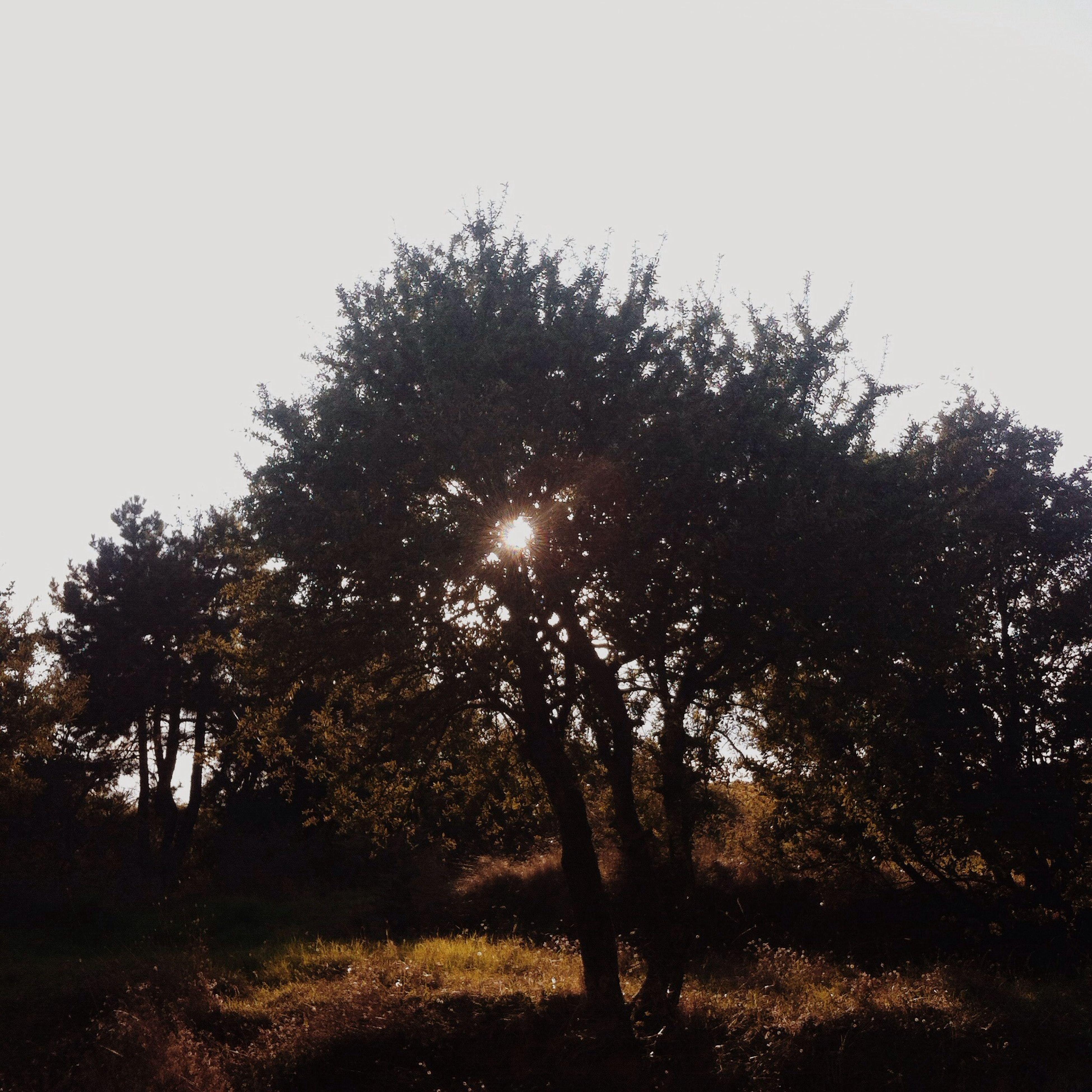 tree, tranquility, silhouette, tranquil scene, sun, clear sky, nature, beauty in nature, scenics, growth, sunlight, field, landscape, sky, branch, non-urban scene, sunbeam, sunset, tree trunk, idyllic
