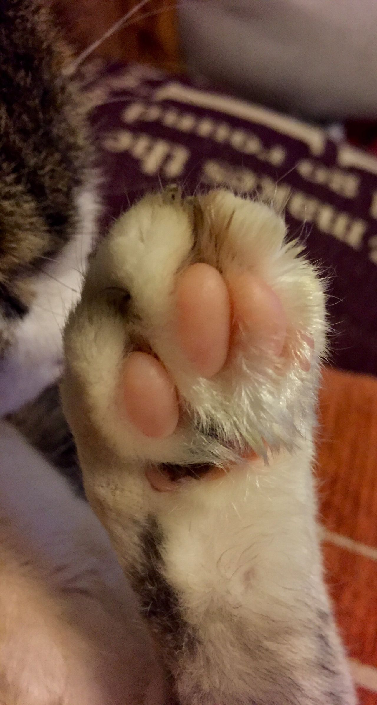 Spiffy's toes Cat Cat Relaxing  Cat Lovers Cat's Toes Cat Paw Tortiseshell Cat Calico Cat Rescue Cat My Pet