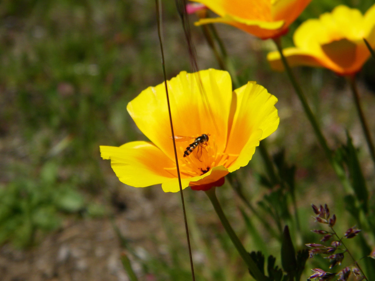 yellow, flower, petal, nature, insect, growth, beauty in nature, one animal, outdoors, no people, flower head, plant, freshness, animals in the wild, fragility, animal themes, bee, blooming, day, close-up