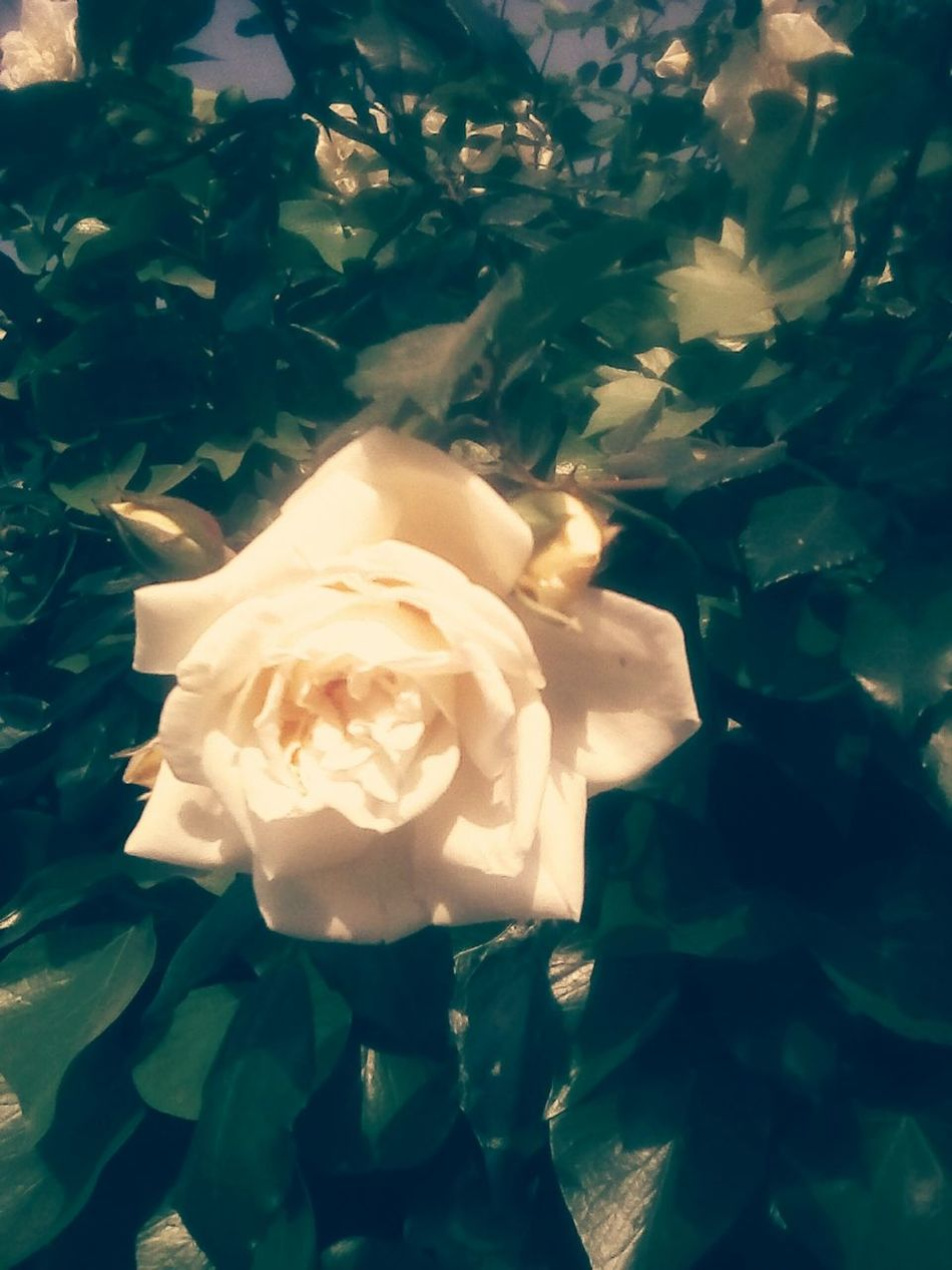 White Rose Nature Leaf Day Beauty In Nature EyeEmNewHere EyeEm Nature Lover EyeEmNewHere