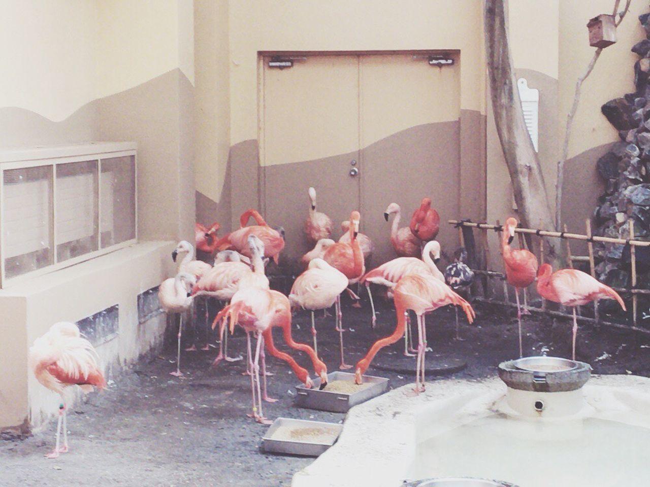 Flamingos in Maruyama Zoo , Sapporo
