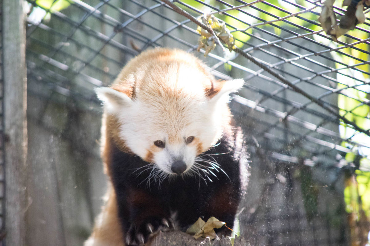 Animal Themes Animal Wildlife Animals In The Wild Captivity Close-up Day Focus On Foreground Looking At Camera Mammal Nature No People One Animal Outdoors Panda - Animal Red Panda Zoo Zoo Zoo Animals