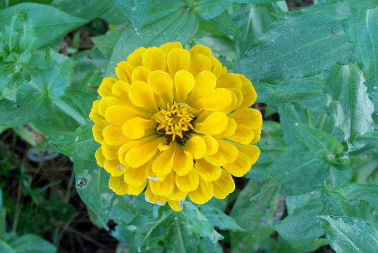 Beauty In Nature Blooming Close-up Day Delicate Flowers Flower Flower Head Fragility Freshness Green Color Growth Leaf Nature No People Outdoors Petal Plant Spring Summer And Fall Vibrant Color Yellow Yellow Zinnia
