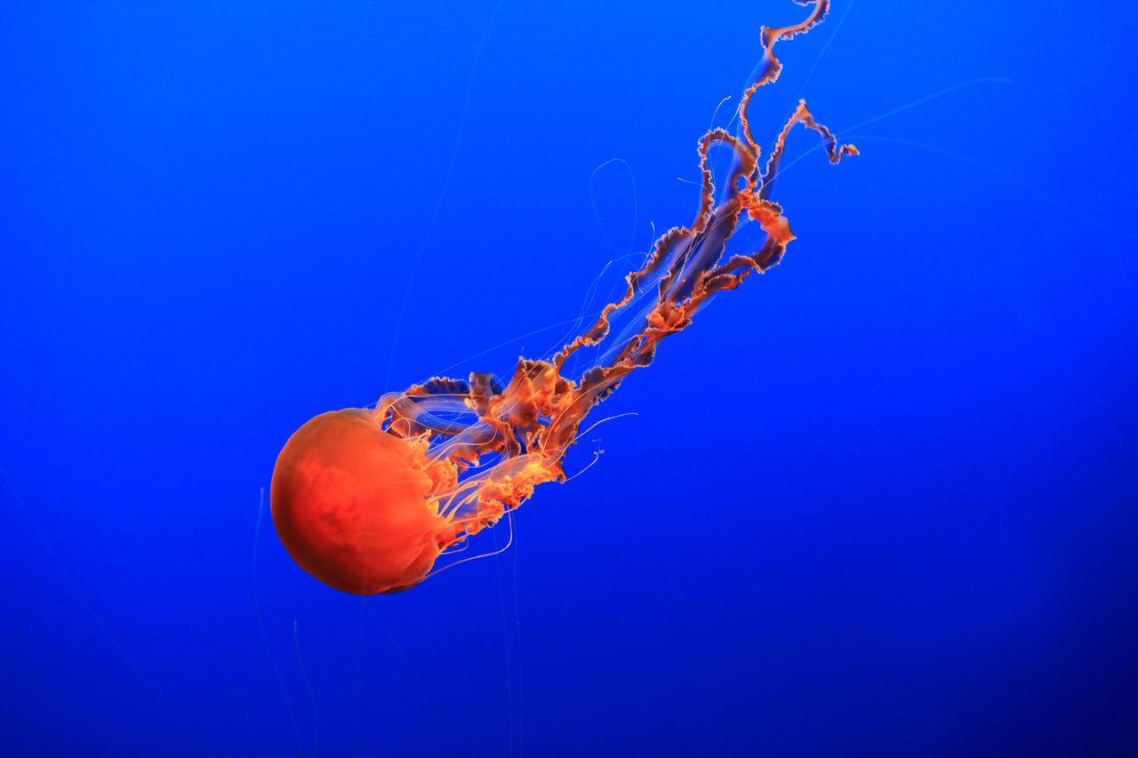Blue Background Jellyfish Monterey Bay Aquarium No People One Animal Sea Life Underwater Water
