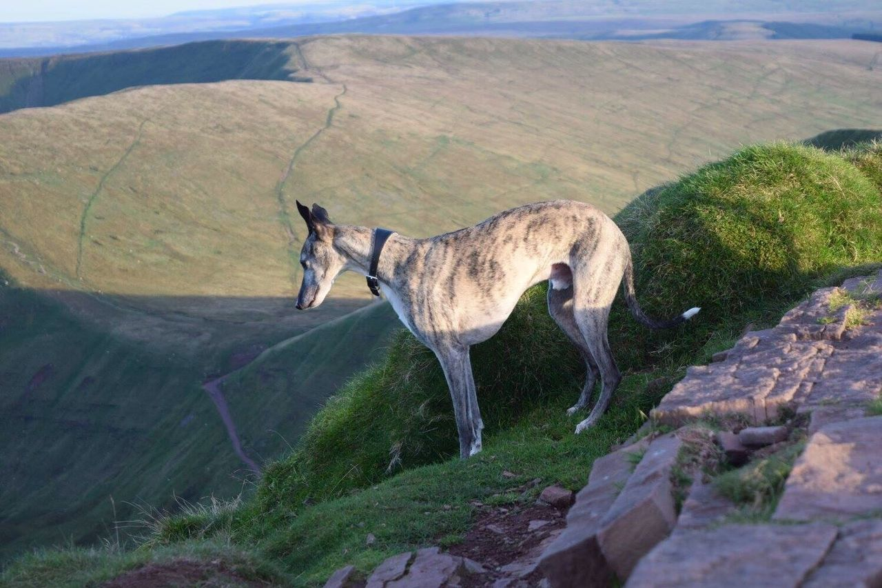 Finding New Frontiers my rescue whippet looking to see how far down it is Pen Y Fan Mountain South Wales Whippet