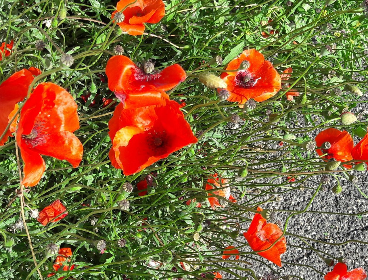 growth, flower, nature, poppy, orange color, red, plant, beauty in nature, grass, no people, field, petal, green color, freshness, outdoors, day, blooming, fragility, flower head, close-up