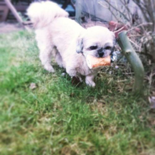 Poppy burying a skanky smart price cheese n onion roll Nobodylikesthem Shihtzu Dog Goodshout ?