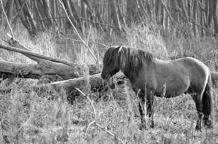 Konikpaard Nature Grass No People Outdoors Animals In The Wild Dutch Landscape Dutch Photooftheday Photography Netherlands Nederland Nikon Nature Forest Photo Horse Paard Oostvaardersplassen