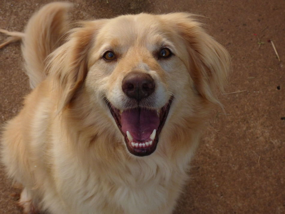 Animal Themes Close-up Day Dog Domestic Animals Golden Retriever Happy Dogs Happy People Indoors  Looking At Camera Mammal No People One Animal Pets Portrait Smiling Dog Art Is Everywhere Nature Christopher Kelley Cb Kelley Photography