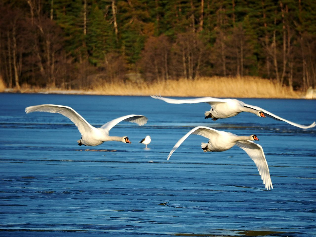 Bird Flying Spread Wings Nature Reserve Animal Themes Winter Nature Outside Spreading Wings Swan Sunny Winter Day Beautiful Nature Animals In The Wild Animal Wildlife Scenics Outdoors Beauty In Nature Nature Beauty In Nature No People Nature Animal Sea Bird Swans In Flight