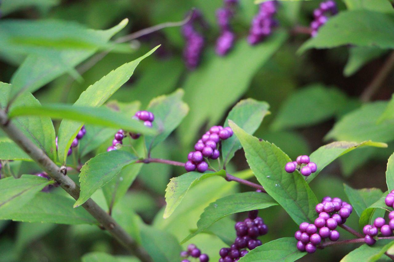 Kyoto 詩仙堂 Callicarpajaponica Callicarpa Purple Nature Colour Of Life