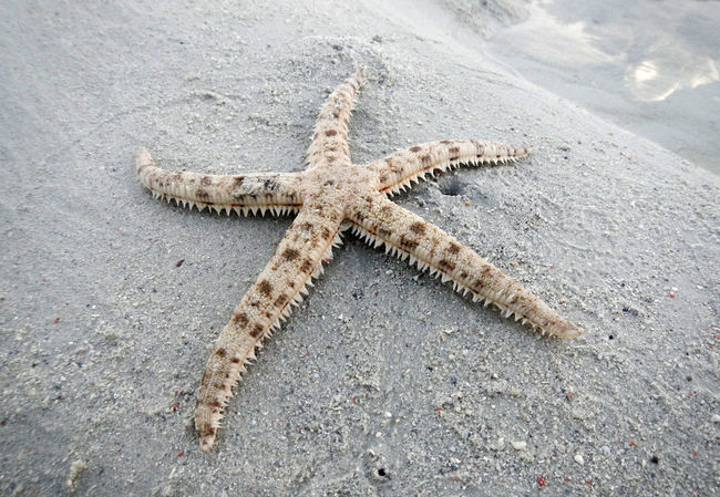 Starfish on beach Animal Themes Animals In The Wild Day Full Length High Angle View Nature No People One Animal Outdoors Overhead View Sand Sea Star Shape Starfish  Starfish At Beach Wildlife
