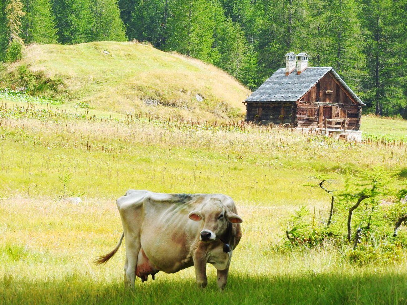 Cow Mucca Alpedevero