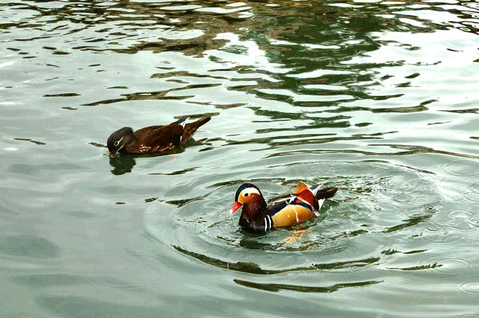 Animal Themes Water Swimming Animals In The Wild Lake Nature Bird Duck High Angle View No People Day Water Bird Mandarin Duck Outdoors Beautiful Day Places I Love Colors Of Life Birds Animal