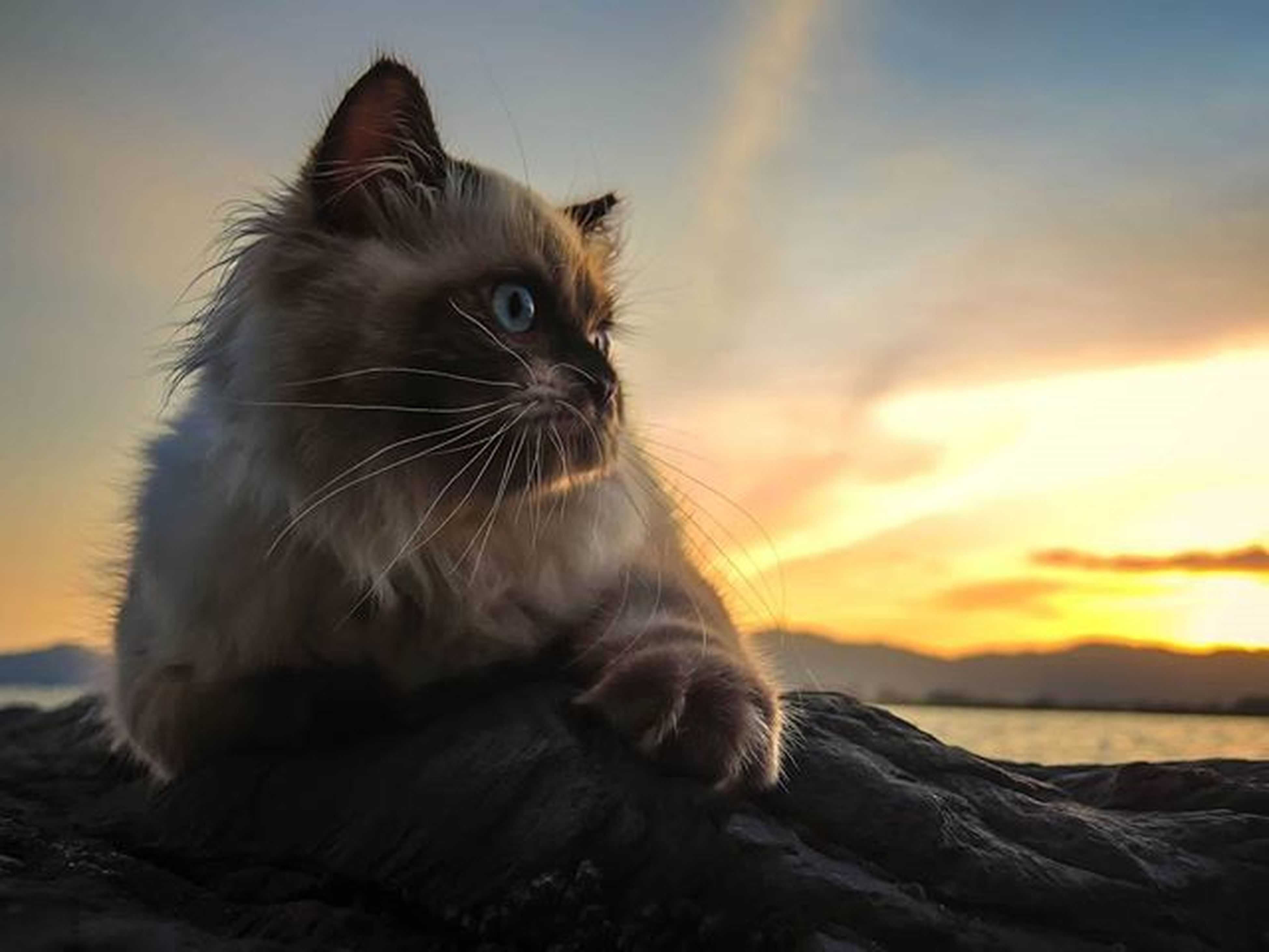 one animal, animal themes, pets, mammal, domestic cat, domestic animals, feline, cat, sunset, whisker, focus on foreground, looking away, sky, relaxation, close-up, nature, sitting, no people, outdoors, side view