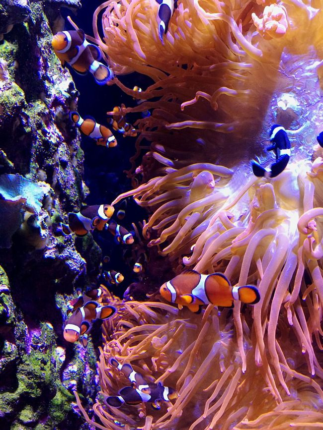 Find Nemo Underwater Swimming Fish UnderSea Clownfish Nature Monterey Bay Aquarium