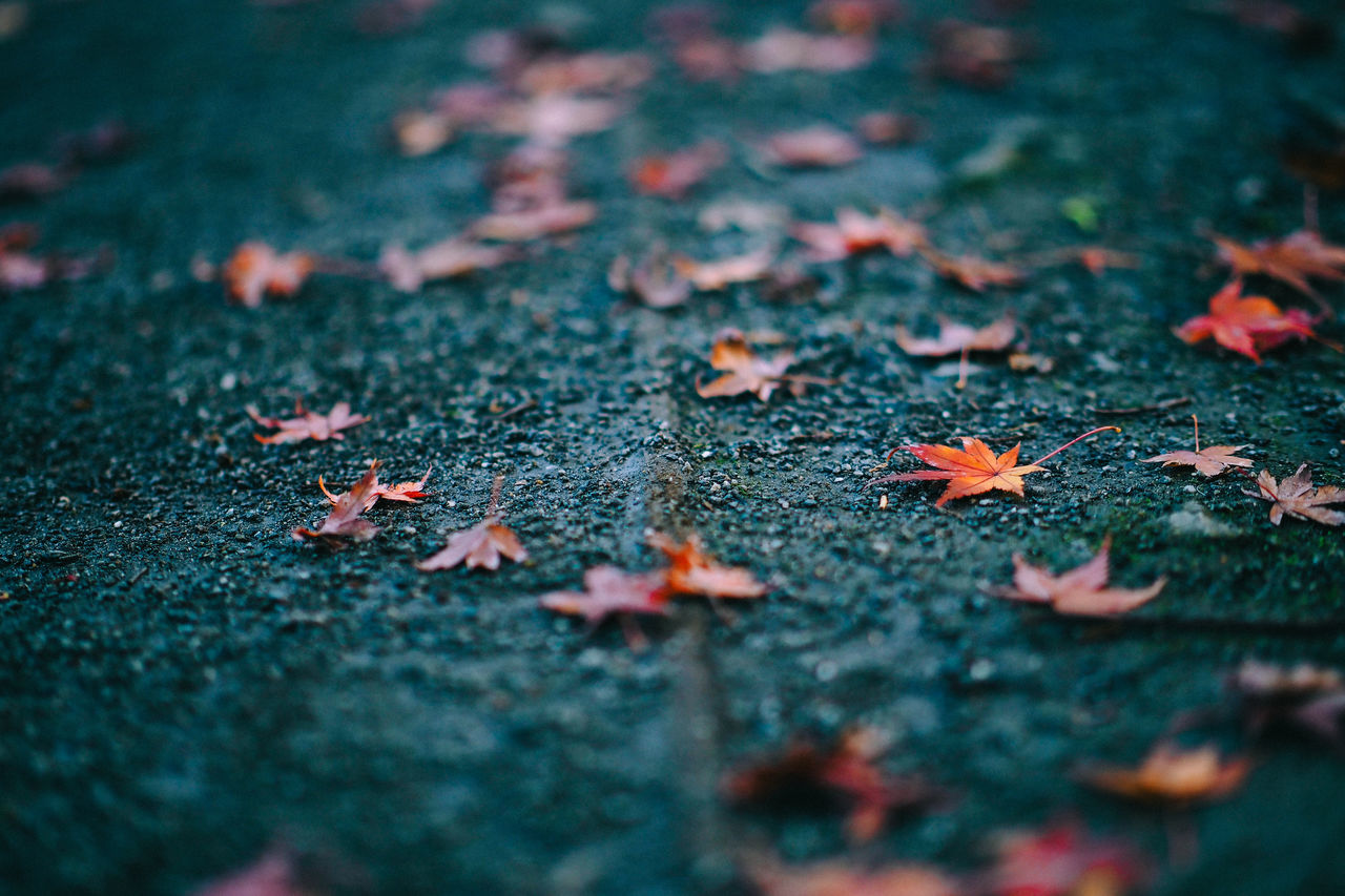 Surface Level of Fallen Autumn Leaves on Pavement Autumn Beauty In Nature Change Close-up Colour Image Day Dry Fallen Fragility Horizontal Japan Leaf Leaves Maple Maple Leaf Nature No People Outdoors Pavement Season  Selective Focus Surface Level Tranquility Yokohama