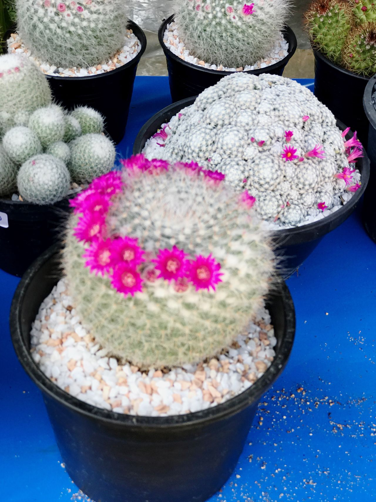Cactus Garden Cactus Flower Cactus Cactus Collection Cactusmagazine Cactuslover Cactusplants Pink Color High Angle View No People Freshness Multi Colored Close-up Flower Indoors  Sweet Food Day Nature EyeEm Nature Lover Cactusflower Cactus Paradise Cacti Garden Beauty In Nature