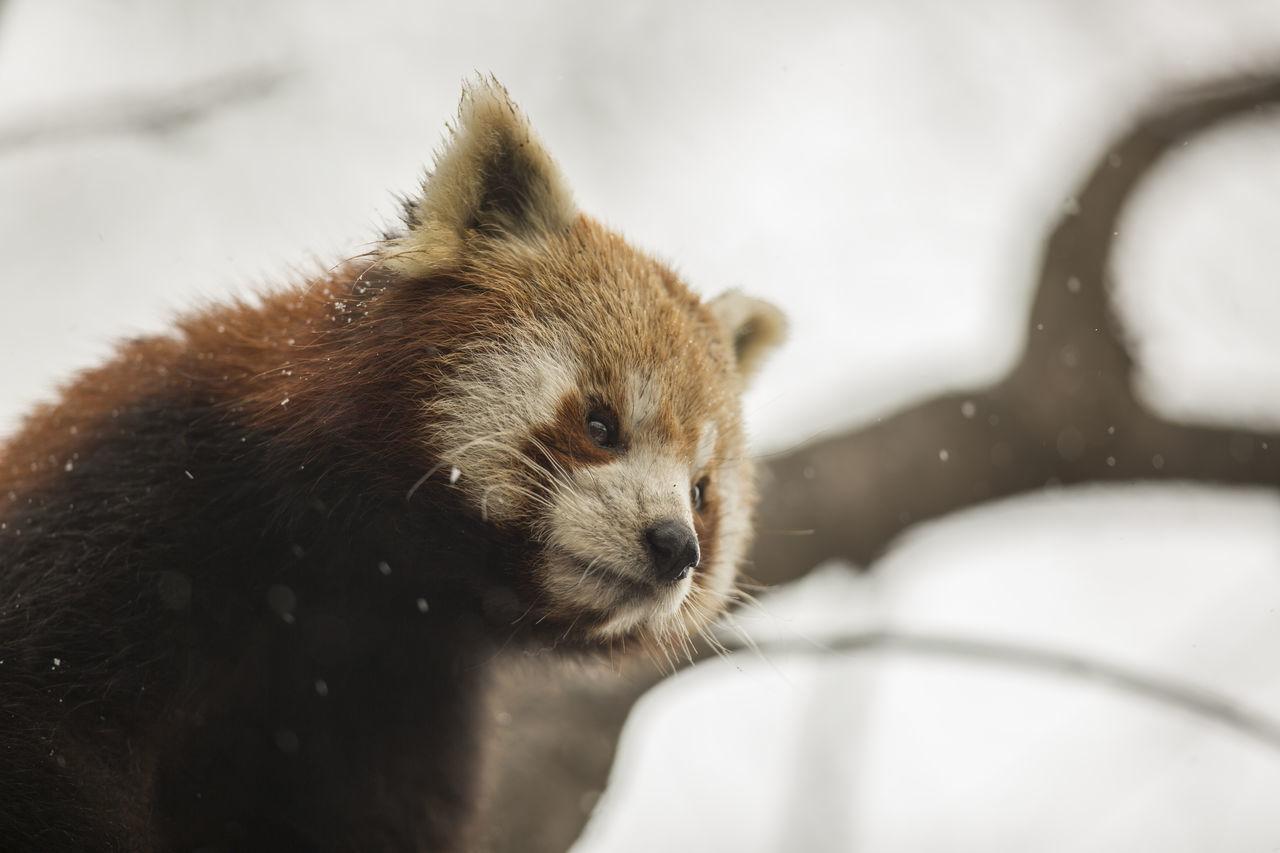 Red panda / Ailurus fulgens [Canon EF 300mm f/2.8 L IS II USM] Animal Themes Animal Wildlife Animals In The Wild Cute Animal Mammal Nature One Animal Outdoors Panda Red Bear-cat Red Panda