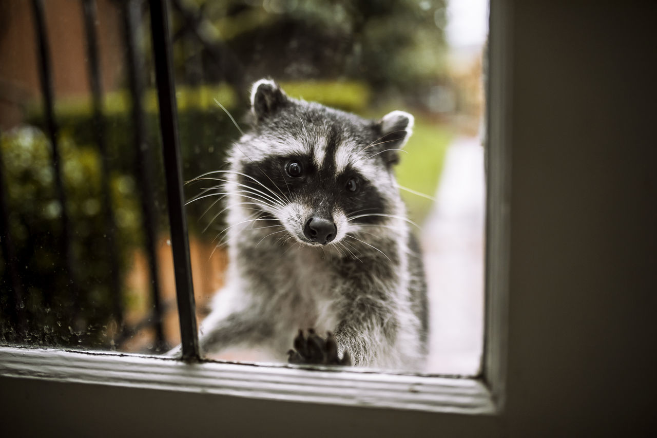 Beautiful stock photos of raccoon,  Animal Themes,  Close-Up,  Cute,  Day