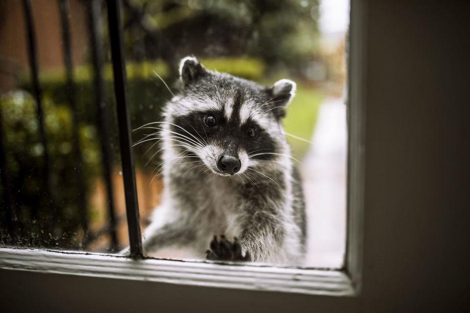 Beautiful stock photos of raccoon,  Animal Themes,  Close-Up,  Cute,  Day