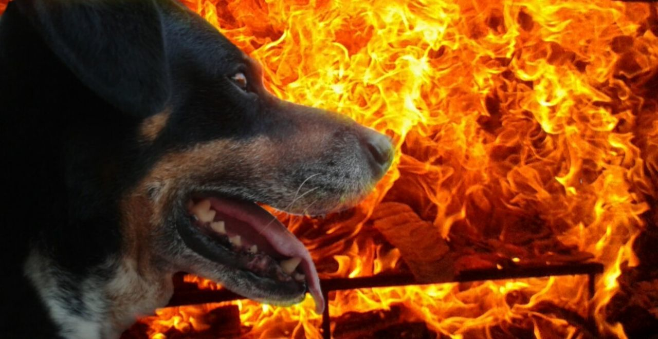 Dog on fire Fire - Natural Phenomenon Flame Heat - Temperature Burning Dog Close-up No People Outdoors Mouth Open Dog HotDog XD Fire On Fire