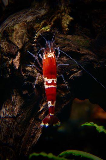 Crystal Red Garnele Zwerggarnele Crystal Red Shrimp Crystal Red Caridina Cantonensis Bienengarnele One Animal No People Animal Themes Nature Underwater