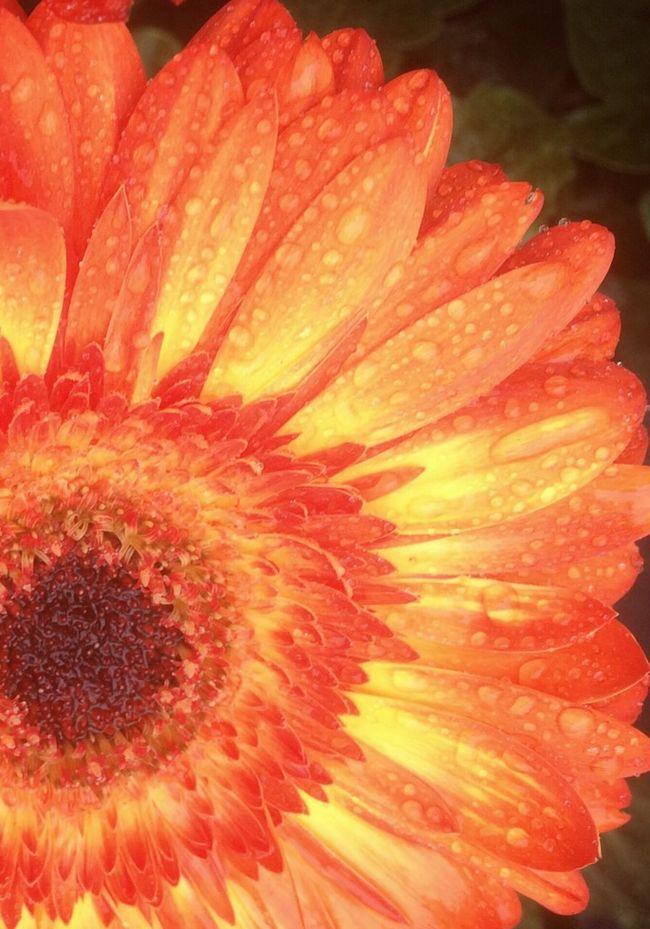Gerberdaisy Flower Daisy Petal Wet Beauty In Nature Vibrant Color