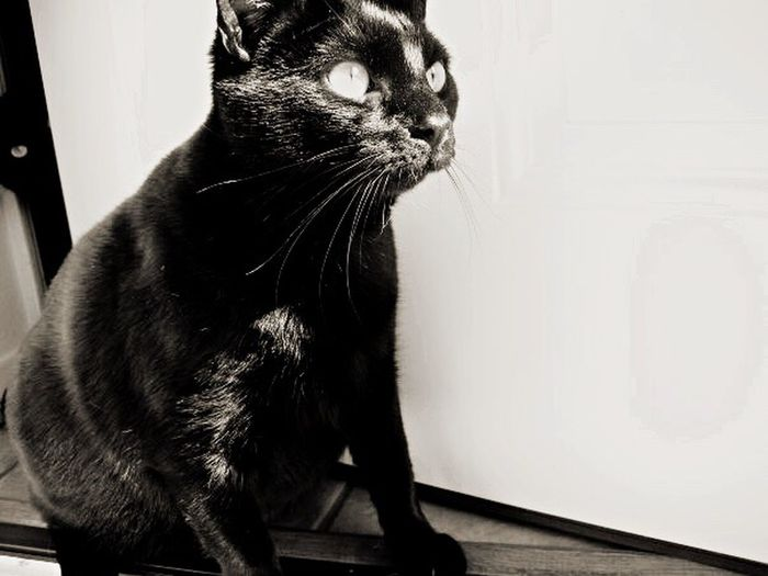 Cats Black And White Black Cat Fuzzy Friends Photography La Fat Cat