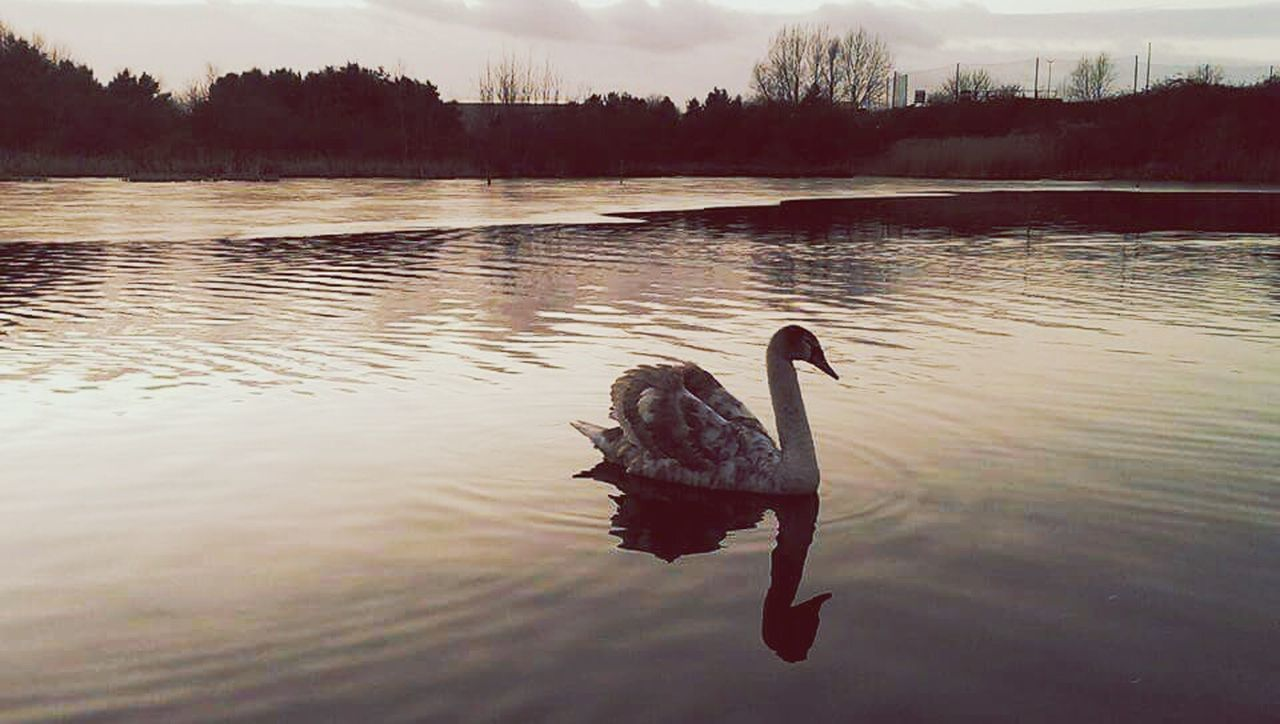 animals in the wild, one animal, reflection, water, animal themes, nature, lake, bird, animal wildlife, no people, swimming, outdoors, tranquility, beauty in nature, day, sunset, tree, swan, sky, black swan