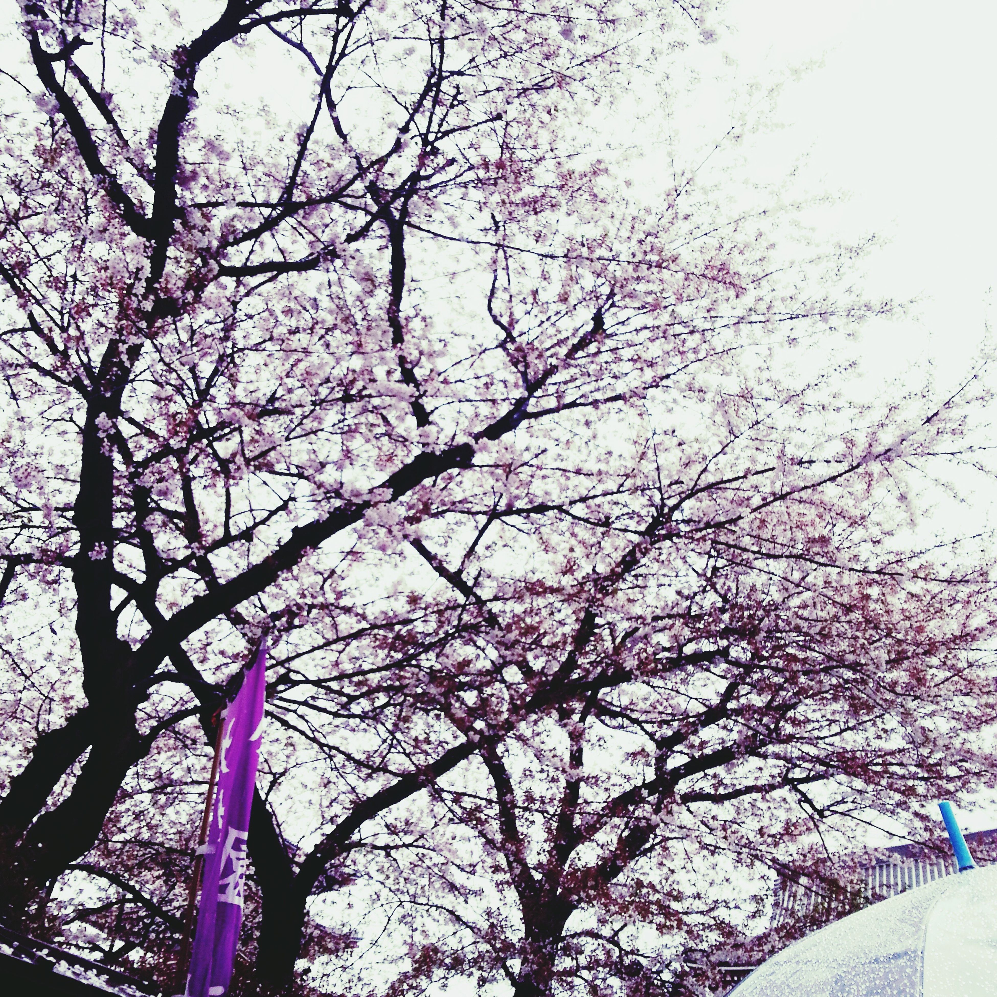 tree, low angle view, flower, branch, growth, sky, cherry blossom, nature, pink color, cherry tree, beauty in nature, day, blossom, outdoors, clear sky, fragility, freshness, no people, springtime, built structure