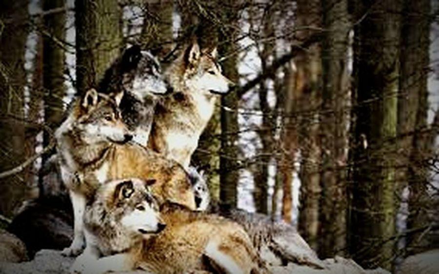 wolfsgruppe Tiere Tierisch First Eyeem Photo