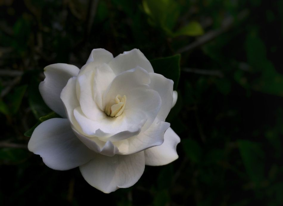 White gardenia. Gardenia White Flower Beauty In Nature Petal Nature Fragility Freshness Flower Head Close-up Plant Growth No People Blooming Outdoors Day Scented