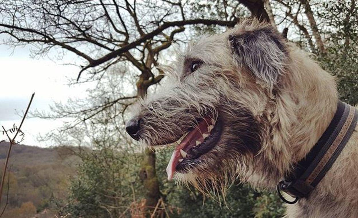 Moments. Cherish them. Cherish  Moments Heaven Wolfie Wolfhound Irishgirl Ireland Walking Bestoftheday Picoftheday Curls Curlyhair