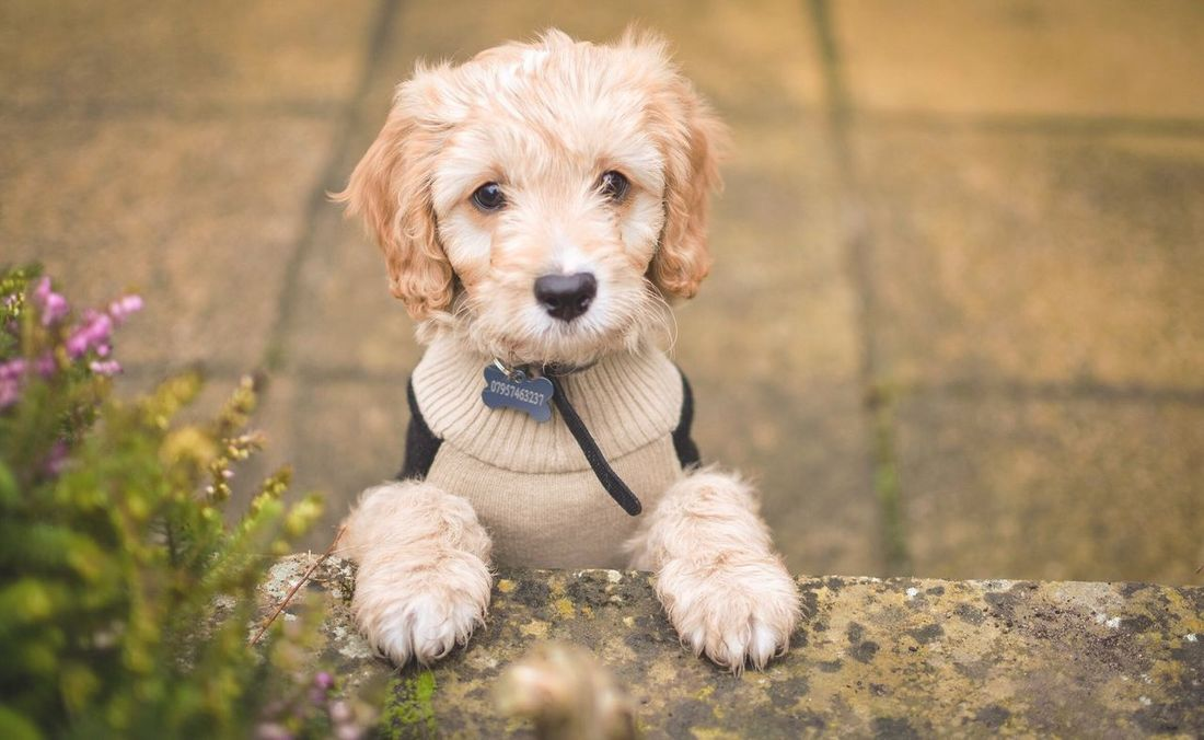 Looking over the wall Dog Pets Pets Corner Pet Photography  Dogs Dog Love Puppy Love Dogs Of EyeEm Cavapoo Wall Puppy Looking At Camera Animal Themes Domestic Animals Portrait Poodle Mixed-breed Dog Nature Close-up Day Outdoors Cavalier King Charles Spaniel