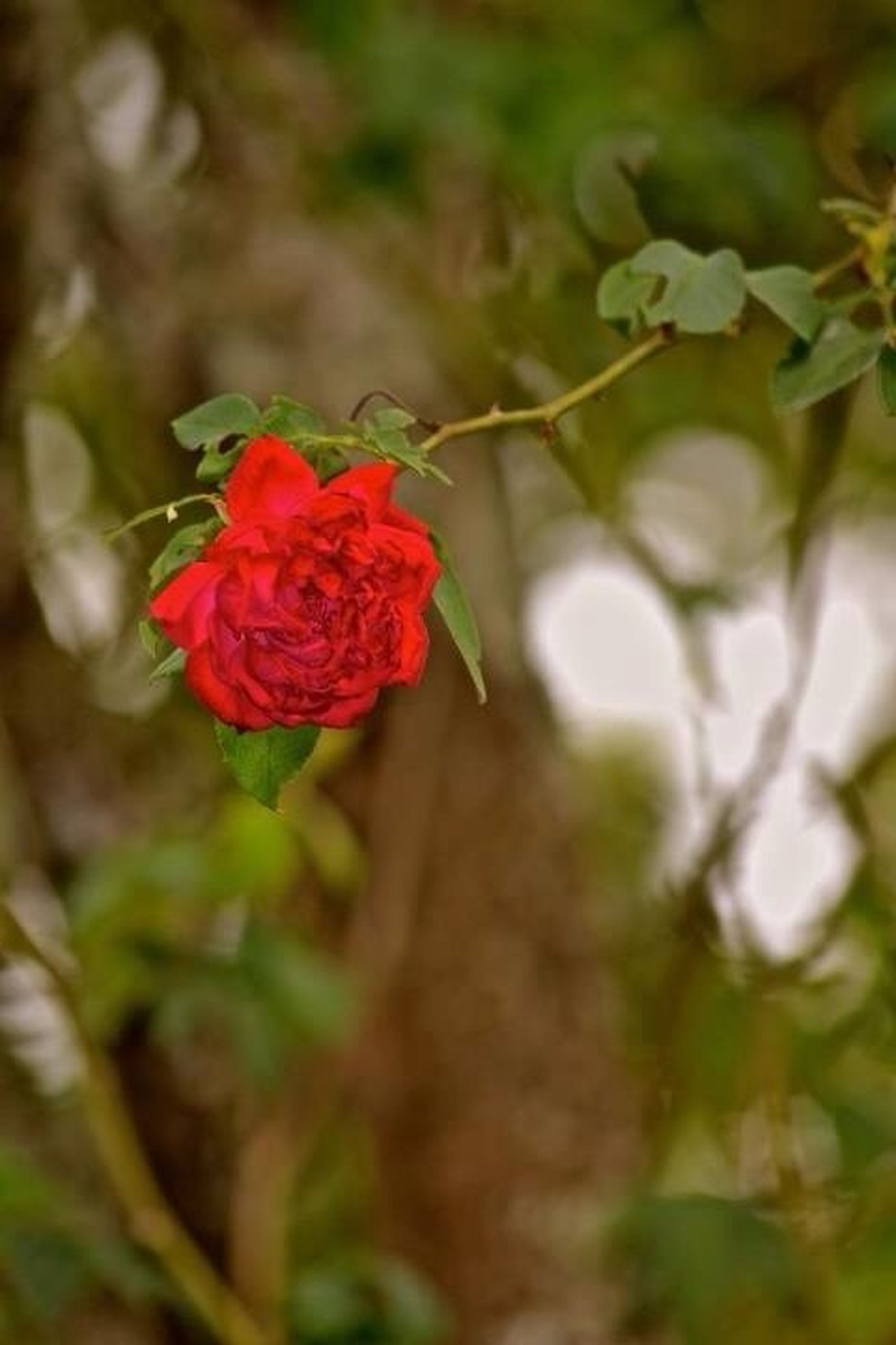 flower, petal, freshness, fragility, flower head, growth, red, beauty in nature, plant, blooming, focus on foreground, close-up, nature, in bloom, selective focus, stem, single flower, bud, rose - flower, blossom
