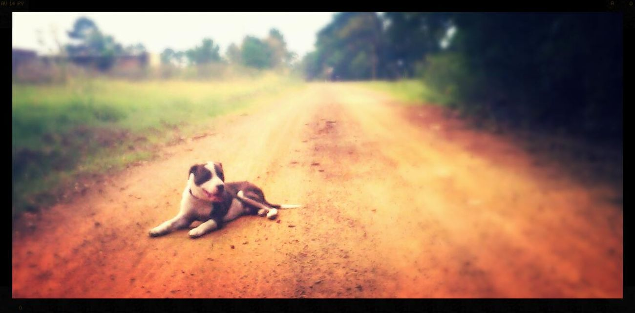 Dirt road dog. Pitbull♥ Pitbull Dogs Dogstagram