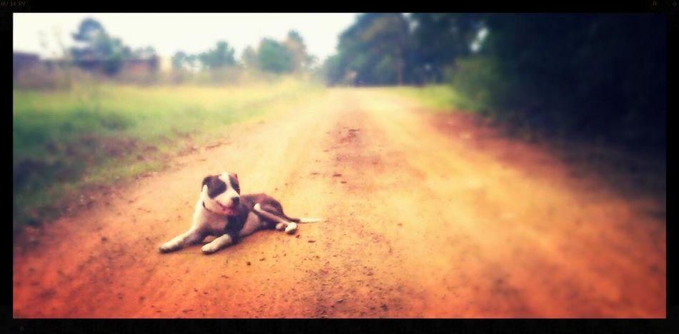 Dirt road dog. Pitbull♥ Pitbull Dogs Dogstagram