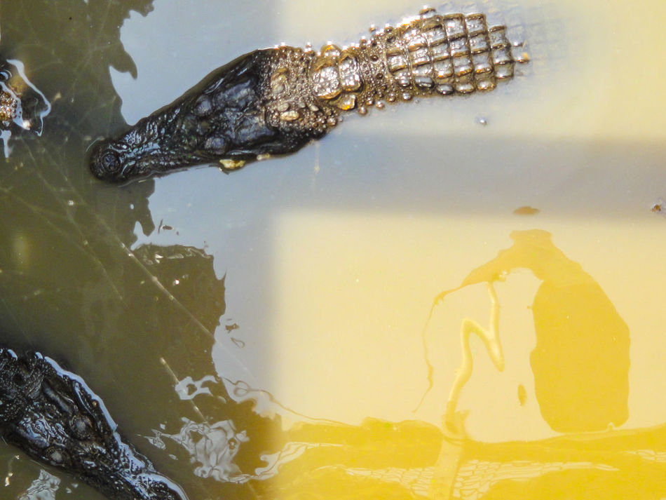 What's the matter alligator? Alligator Water No People Close-up Crocodile Outdoors Day Reptile Reflection Two Animals Alligators In The Water Down Shot Looking Directly Above Cambodia Tonle Sap Lake