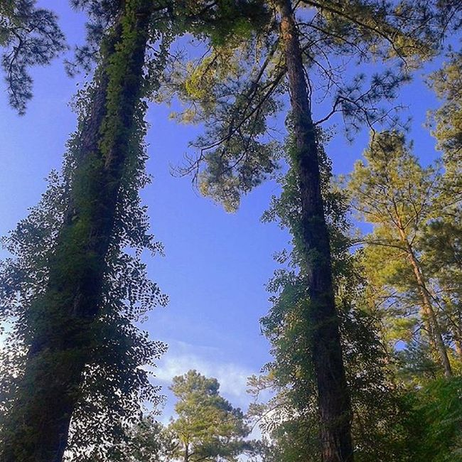Trees Tall Trees Bkue Sky Forest Viney Trres Vines Green
